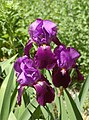 Iris cv. bearded dark purple (X-2649-E) Flowers.JPG