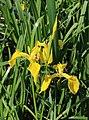 Iris pseudacorus 2020 G1.jpg