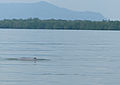 Irrawaddy Dolphin (Orcaella brevirostris) (15657680338).jpg