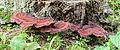 Ischnoderma benzoinum - Schwarzgebänderter Harzporling - 02.jpg