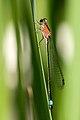 Ischnura elegans 14(loz).jpg