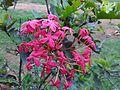 Ixora Chinensis Rubiaceae.jpg
