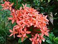 Ixora color.jpg