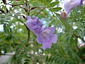 Jacaranda mimosifolia (2).JPG