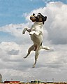 Jack Russell catching ball.jpg
