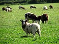 Jacob Sheep - geograph.org.uk - 567775.jpg