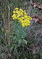Jacobaea vulgaris subsp. vulgaris plant flowers.jpg