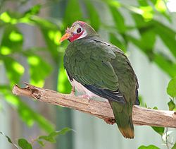 Jambu Fruit-dove (Ptilinopus jambu) at Louisville Zoo.jpg