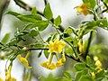 Jasminum humile glabrum1SHSU.jpg