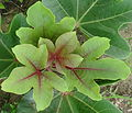 Jatropha macophylla - young leaves (11744927375).jpg