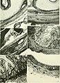 Journal of morphology (1912) (14598077338).jpg