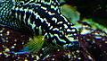 Julidochromis marlieri - Aqua porte dorée 01.JPG