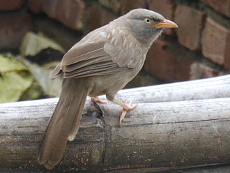 Jungle babbler - Turdoides striata striata