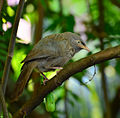 Jungle babbler3.jpg