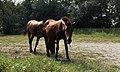 Kırkpınar Atlar - panoramio (1).jpg