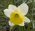 KM 3987 daffodil.jpg