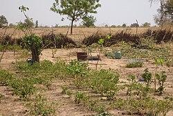 KaffrineAgroforestry.jpg