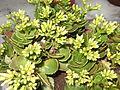Kalanchoe blossfeldiana yellow darling-HRS-yercaud-salem-India.JPG