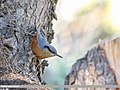 Kashmir Nuthatch (Sitta cashmirensis) (48332186726).jpg