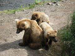 Katmai Sow and Cubs.JPG