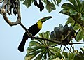 Keel-billed Toucan. Ramphastos sulfuratus - Flickr - gailhampshire (2).jpg