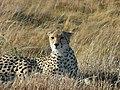 Kenya Keekorok 2013 Cheetah, Safari - panoramio (1).jpg