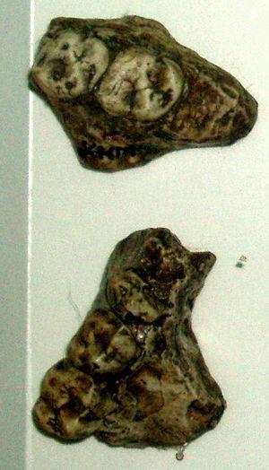 Astaracian - Image: Kenyapithecus wickeri