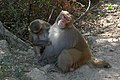 Keoladeo National Park-Singes (1).jpg
