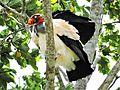 King vulture (Chalalan).jpg