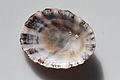 Kioloa Seashell 068.JPG