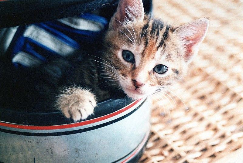 File:Kitten in a helmet.jpg