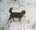 Klára Pyšková et al. ZooKeys 641 151–163 (2016) Golden jackal 2.png