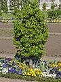Klostergarten Seligenstadt Köstliche aus Charneux Pear.jpg