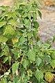 Kluse - Solanum nigrum - Schwarzer Nachtschatten 05 ies.jpg