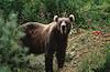 Смеђи медвед се — поред месечевог и сунчевог медведа — у Кини, Северној Кореји, Лаосу, Вијетнаму и Мјанмару користи за скупљање жучи, чија вредост досеже чак 24.000 долара по килограму, што је половина цене исте количине злата