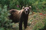 تقرير عن الدب . 180px-Kodiak_Brown_Bear
