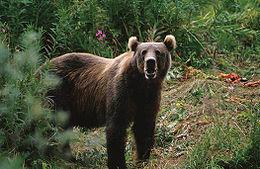 Alaska iri boz ayısı, neslini günümüze kadar koruyabilmiş en büyük ayıdır (Boz ayının bir alt türü).