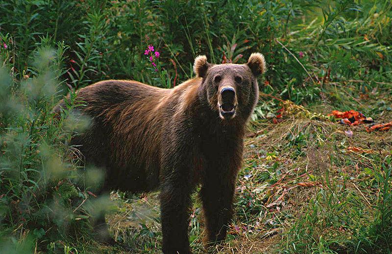 800px Kodiak Brown Bear