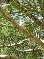 Kookaburra (31156783740).jpg