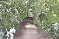 Kora crnog jasene - Fraxinus ornus (1).jpg