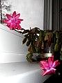 Kvet vianočný kaktus 19 Slovakia1.jpg