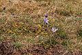 Kvetoucí koniklece v PP Kobylinec 06.jpg