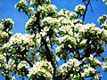 Kwiaty gruszy 2.jpg