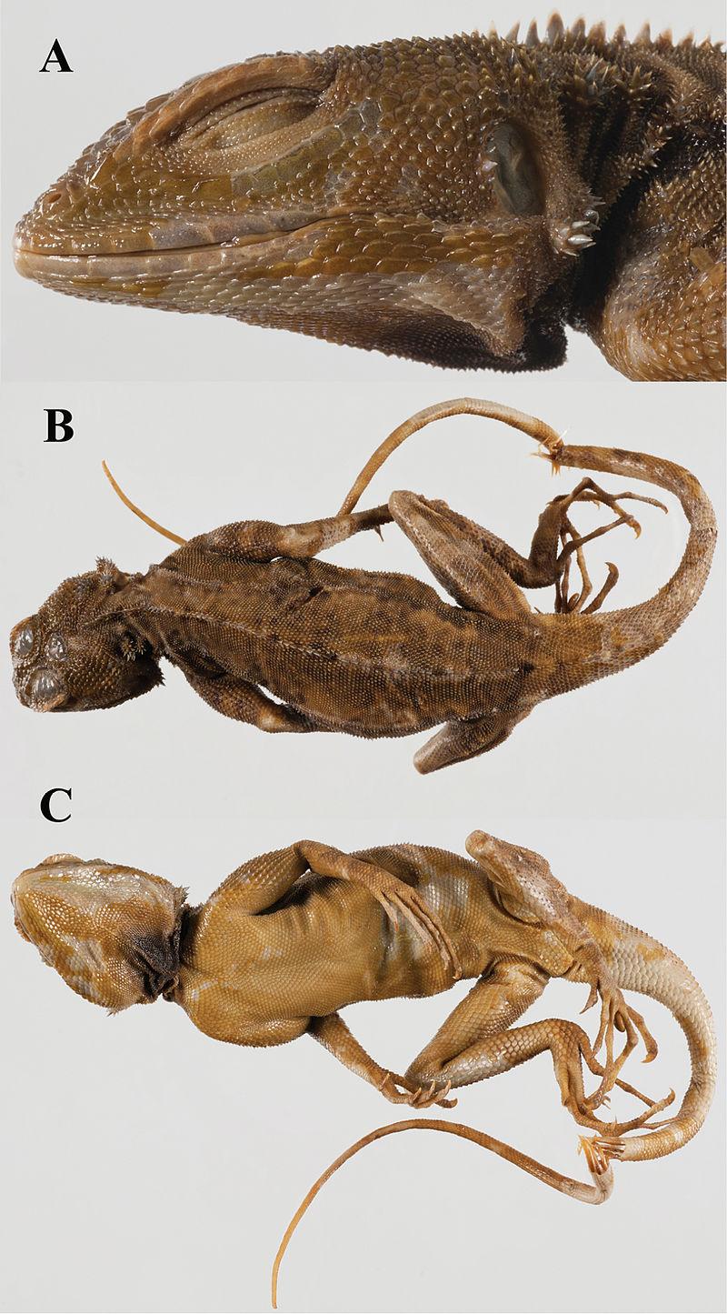 Lacerta plica holotype - ZooKeys-355-049-g005.jpg
