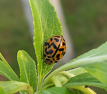 Ladybird with unusual pattern.jpg