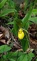 Ladys Slipper Orchid (9277798885).jpg