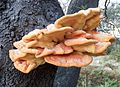 Laetiporus gilbertsonii (15233514223).jpg