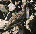 Lagopus muta japonica in Mount Shiomi.jpg