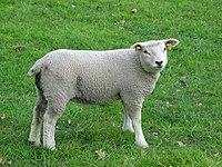 Lamb nl.JPG