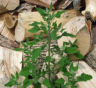 Chenopodium berlandieri - Chenopodium berlandieri growing near a pile of wood in Ontario, Canada.